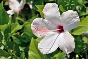 Zimmerpflanze Weiße Blüten : sch ne hibiskus arten und sorten ~ Markanthonyermac.com Haus und Dekorationen