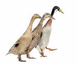 raising runner ducks thriftyfun