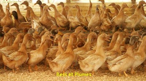 cuisiner un canard entier le canard orpington