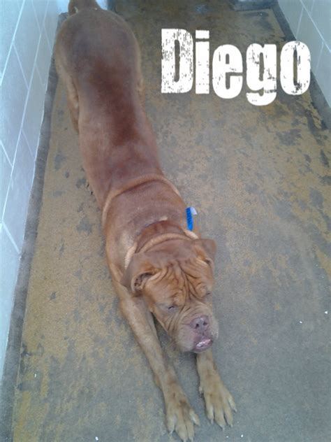 The Shelter Girl Diego The French Bull Mastiff