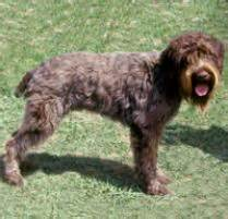 adopt a wirehaired pointing griffon dog breeds petfinder