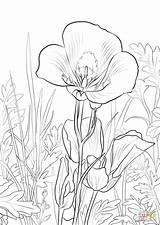 Lily Coloring Pages Flower Sego Lilies Calla Printable Flowers Para Colorear Flores Lirio Drawing Dibujo Supercoloring Lirios Dibujos Sheet Colorings sketch template