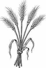 Wheat Coloring Clipart Clip Barley Bundle Tattoo Drawing Pages Dark  Bing Garden Spirituality Drawings Harvest Ii Grassroots Patterns Printable sketch template