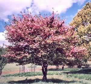 Arbre Ombre Croissance Rapide : les arbres de petit d veloppement ~ Premium-room.com Idées de Décoration