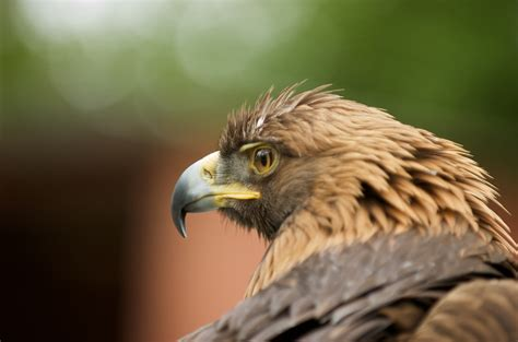 vancouver island birds  prey victoria photographer