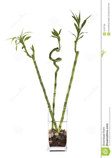 bambu in vaso tre bamb 249 in vaso fotografie stock libere da diritti