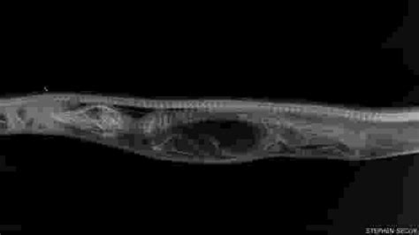 Fotos: O que acontece dentro de uma cobra que engoliu ...