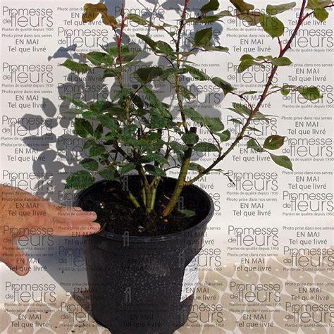 planter un rosier en pot 4 rosier pr 233 sent 233 en pot de 2 ou 3 litres swyze