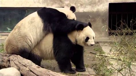 animal planet discovery channel panda documentary