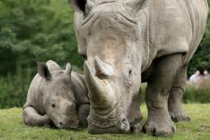 Image result for rhino