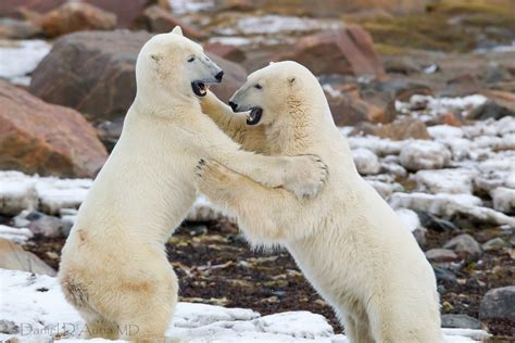 Cool Image Of Polar Bears, Picture Of Fight, A Loud Shout