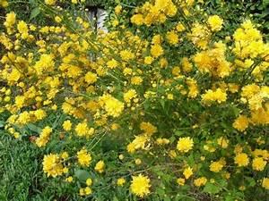 Comment Se Dépacser : arbuste qui fleurit jaune au printemps admd ~ Medecine-chirurgie-esthetiques.com Avis de Voitures