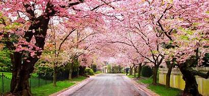 Cherry Blossom Festival Blossoms Trees Tree Wallpapers