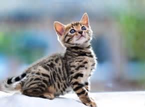 baby bengal cat baby bengal cat wallpaper 5467 3839x2848 umad