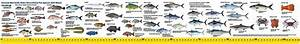 New South Wales Fish Guide  U0026 Ruler Decal 105cm Sticker