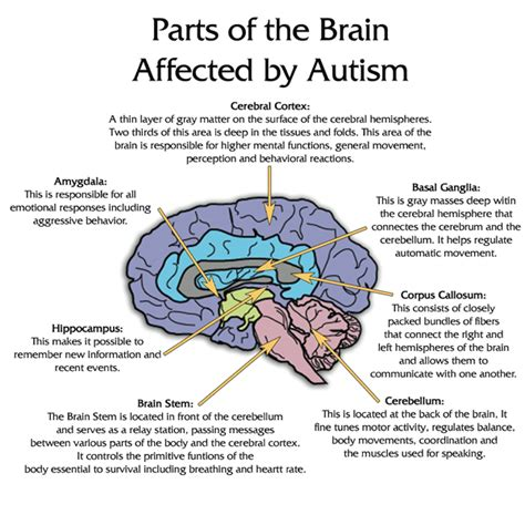 3 Sections Of The Brain by Stomach Vs Mind In Autism