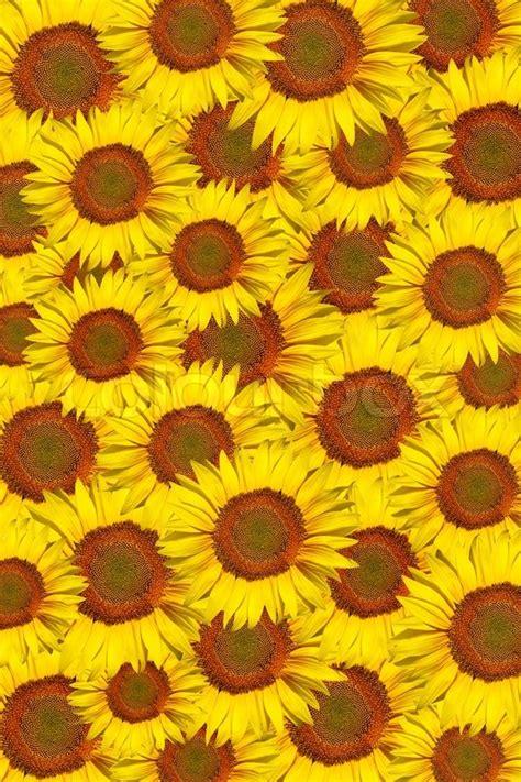 background   single sunflower stock photo colourbox