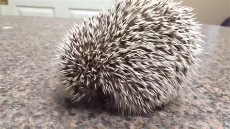 mites on hedgehogs african pigmy hedgehog being treated for mites and fungal dermatitis youtube