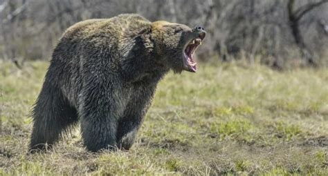 Top 10 Guns for Bear Defense
