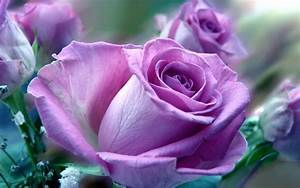 Beautiful Roses HD Desktop Wallpapers in 1080p ~ Super HD ...