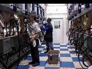 Milking parlour Champion - YouTube