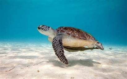 Turtle Sea Wallpapers Desktop Turtles Reptile Backgrounds