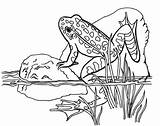 Frog Coloring Preschool sketch template