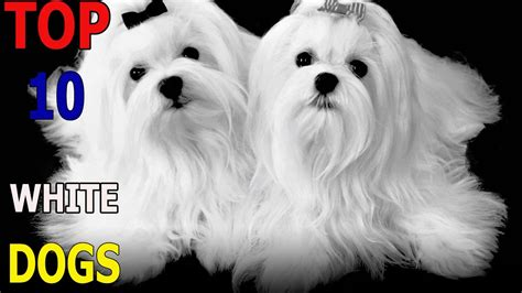 Top 10 White Dog Breeds Top 10 Animals Funnydogtv