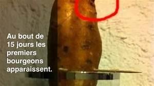 Culture De La Patate Douce : faire pousser une patate douce dans l 39 eau youtube ~ Carolinahurricanesstore.com Idées de Décoration