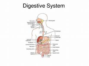 Labeled Digestive System Diagram