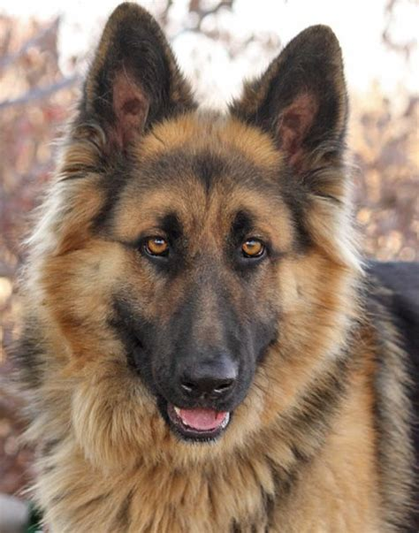 Long Haired Shepherd Rescue Long Haired German Shepherd No Livestock Please His Adoption