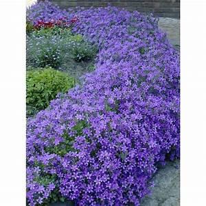 Polster Schaumstoff Obi : dalmatiner polster glockenblume topf ca 11 cm flower ~ Eleganceandgraceweddings.com Haus und Dekorationen