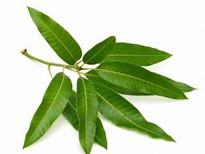 These 10 Medicinal Properties Of Mango Leaves Will Amaze ...
