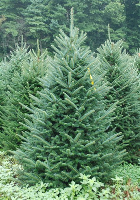 pictures  north carolina fraser fir christmas trees