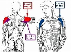Lateral Deltoid: Functional Anatomy Guide • Bodybuilding ...