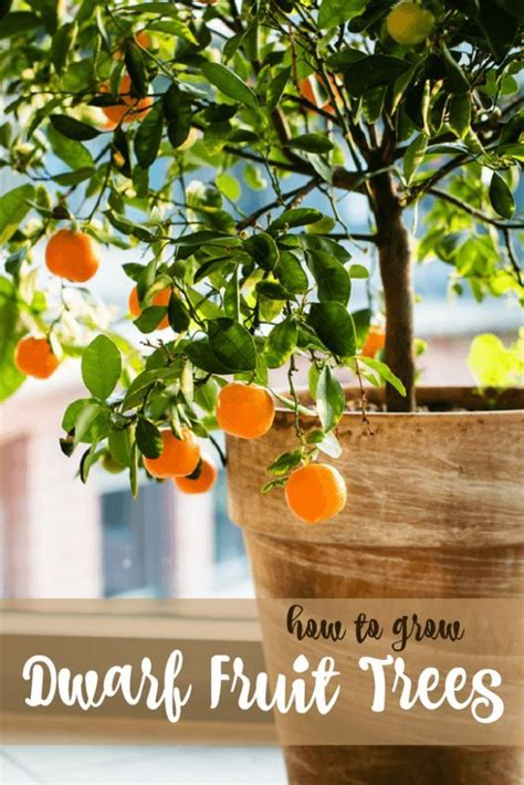 patio fruit trees ideas  pinterest lemon