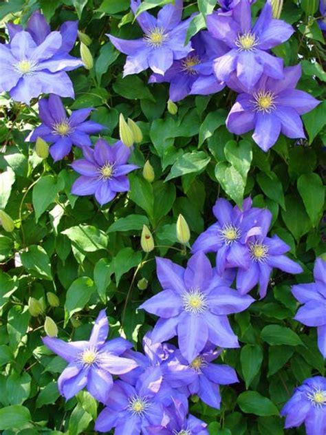 Best Flowering Vines For The Northern Us  Gardener's Path