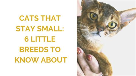 small cat breeds  breeds  stay small wildernesscat