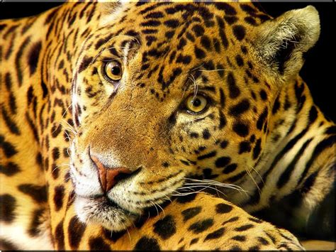 wallpaper animal jaguar