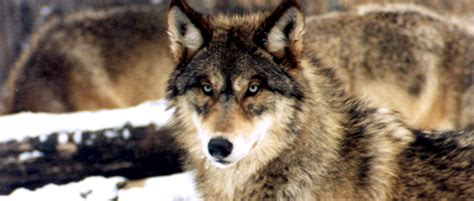 wolf hunting restarts  wyoming  wildlife society