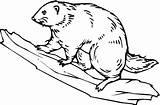 Beaver Coloring Pages Drawing Muskrat Dam Wildlife Animals Printable Hoover Sheet Wood Getdrawings Getcolorings sketch template
