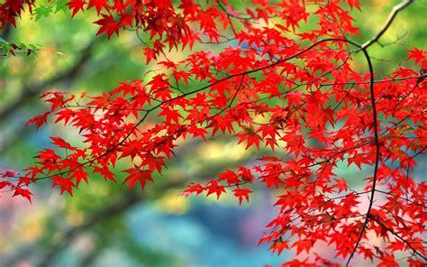 hình Ảnh dành cho laptop cực đẹp với lá đỏ