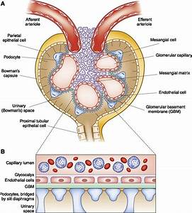 The Players  Cells Involved In Glomerular Disease
