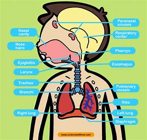 Ana U00b4s English Classes  Science  Unit 2  Human Respiration  Circulation  U0026 Excretion