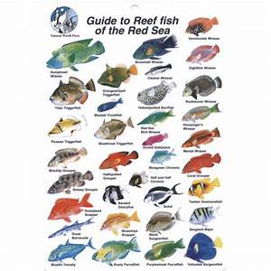 Go Dive    Books  U0026 Dvds    Guide To Reef Fish Of The Red