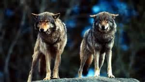 wolf sprüche rückkehr der wölfe konsequente prävention statt markiger sprüche presse fotos downloads
