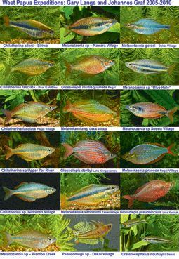 rainbowfish info tropical freshwater fish aquarium fish