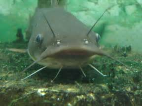cat fish sensitive siluriformes how catfish perceive the world