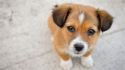 Puppy Desktop Background by Puppies Pictures Desktop Backgrounds Hd Best Hd