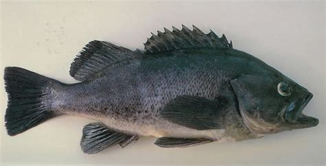 sea bass fish the karmic kitchen know your proteins